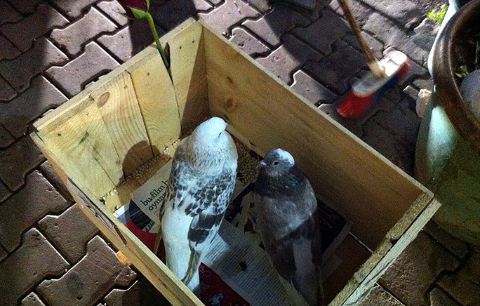 pigeons in the box